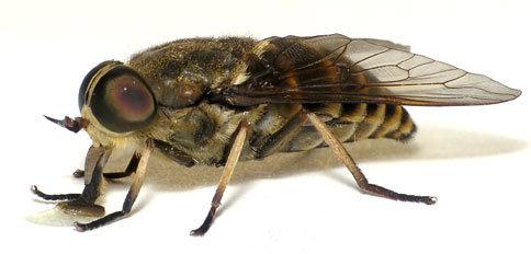 Vliegen-Insecten